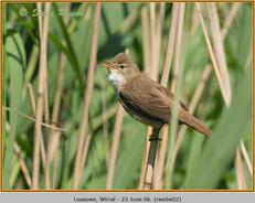 reed-warbler-02.jpg