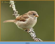 house-sparrow-62.jpg