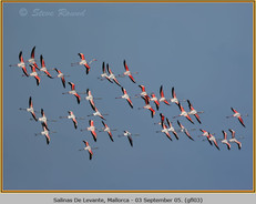 greater-flamingo-03.jpg