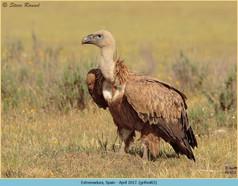 griffon-vulture-65.jpg