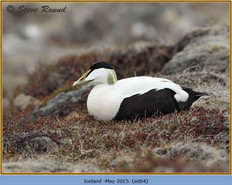 eider-duck- 64.jpg
