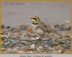 shore-lark-01.jpg