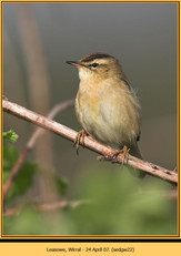 sedge-warbler-22.jpg