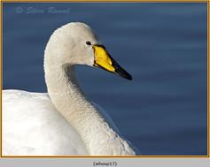 whooper-swan-17.jpg