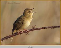 grasshopper-warbler-19.jpg