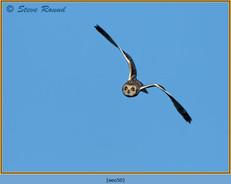 short-eared-owl-50.jpg