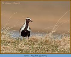 golden-plover-56.jpg