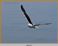 gt-b-backed-gull-24.jpg