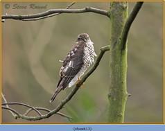 sparrowhawk-13.jpg