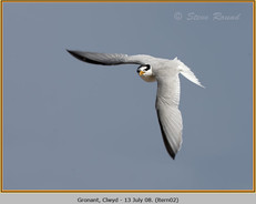 little-tern-02.jpg