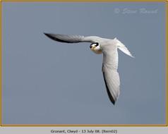 little-tern-02.jpg
