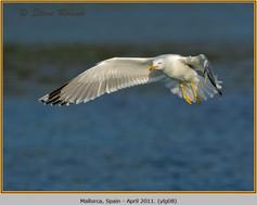yellow-legged-gull-08.jpg
