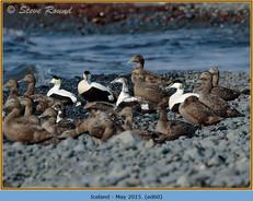eider-duck- 60.jpg