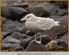 glaucous-gull-02.jpg