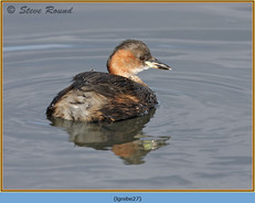 little-grebe-27.jpg
