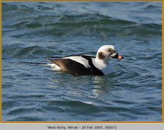 long-tailed-duck-07.jpg