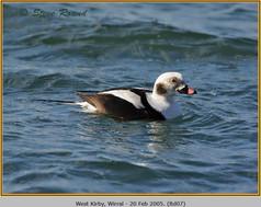 long-tailed-duck-07.jpg