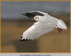 black-headed-gull-31.jpg