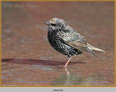 starling-24.jpg