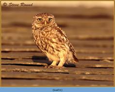little-owl-51.jpg