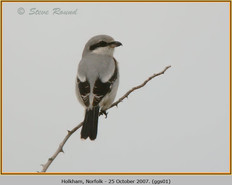 great-grey-shrike-01.jpg