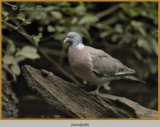 wood-pigeon-28.jpg