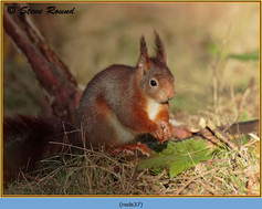 red-squirrel-37.jpg