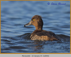 tufted-duck-04.jpg