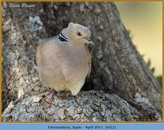 turtle-dove-12.jpg