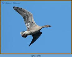 pink-footed-goose-72.jpg