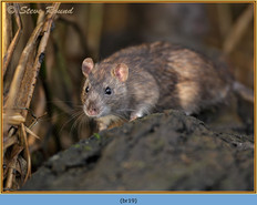 brown-rat-19.jpg