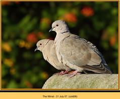 collared-dove-06.jpg