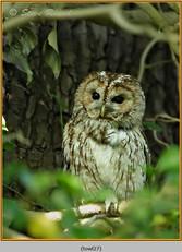 tawny-owl-27.jpg