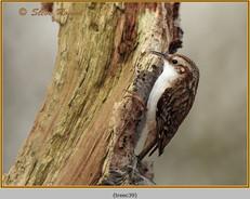 treecreeper-39.jpg