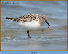 sanderling-82.jpg