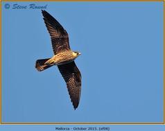eleonoras-falcon-08.jpg