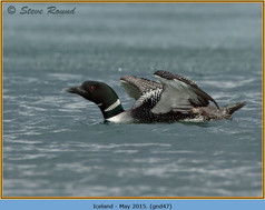 great-northern-diver-47.jpg