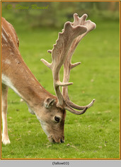 fallow-deer-03.jpg