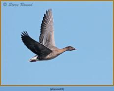 pink-footed-goose-83.jpg