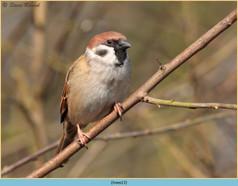 tree-sparrow-13.jpg