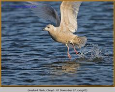 iceland-gull-05.jpg