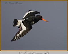 oystercatcher-39.jpg