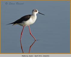 black-winged-stilt-42.jpg