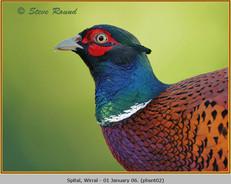 pheasant-02.jpg