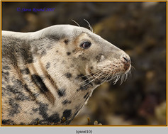 grey-seal-10.jpg