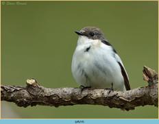 pied-flycatcher-54.jpg