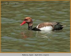 red-crested-pochard-11.jpg
