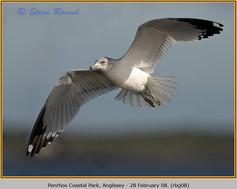 ring-billed-gull-08.jpg