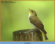wood-warbler-81.jpg