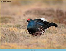 black-grouse- 98.jpg